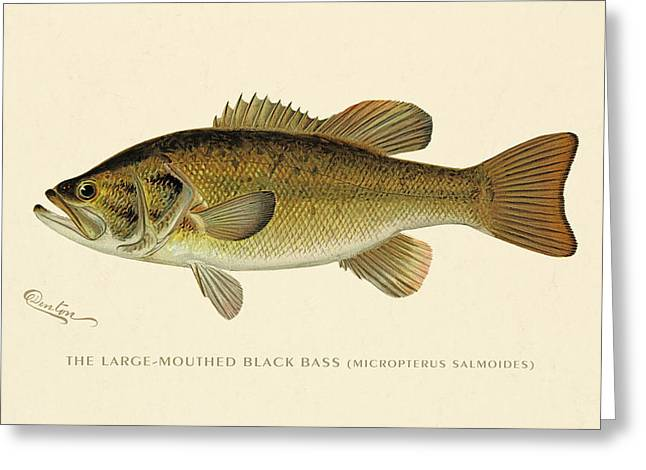 Large Mouthed Black Bass Greeting Card by Gary Grayson