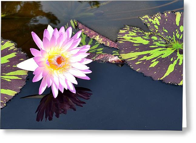 Lilies Pyrography Greeting Cards - Large Pink Water Lily Greeting Card by Jeannette Wagner