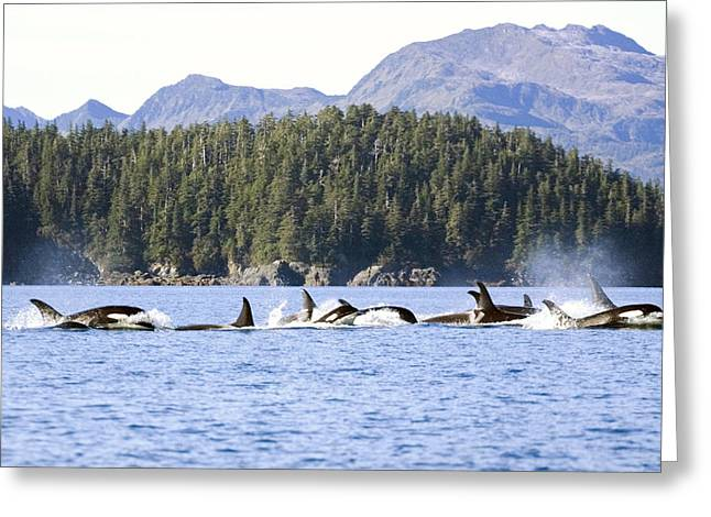Ocean Mammals Greeting Cards - Large Pod Of Orca Swimming In Prince Greeting Card by Mark Stadsklev