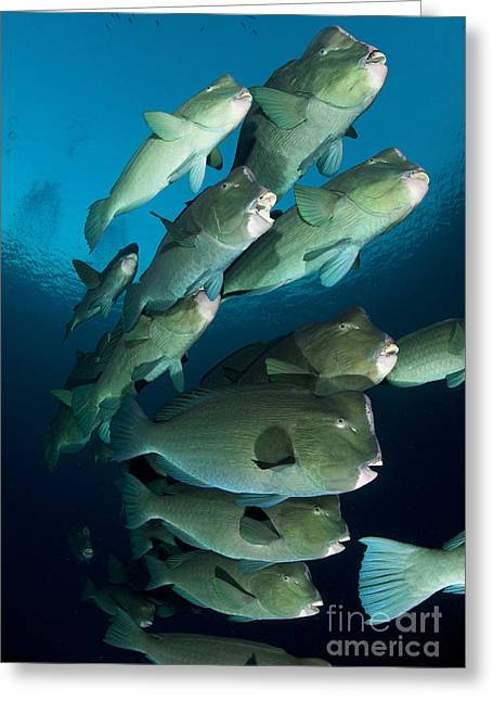 Undersea Photography Greeting Cards - Large School Of Bumphead Parrotfish Greeting Card by Steve Jones
