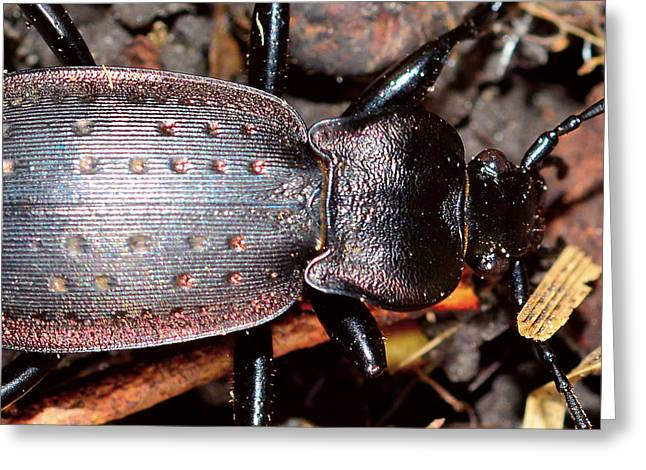 Large Stag Beetle Greeting Card by Toppart Sweden