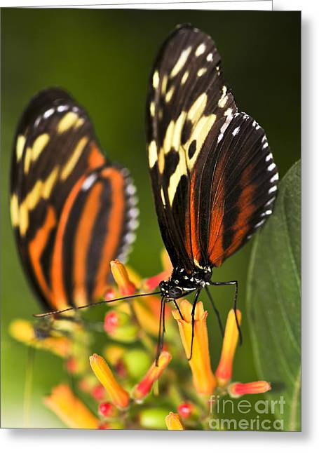Stamen Greeting Cards - Large tiger butterflies Greeting Card by Elena Elisseeva