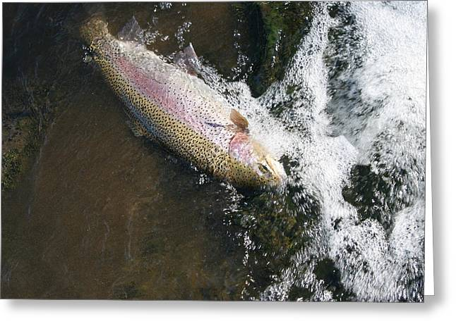 Rainbow Trout Greeting Cards - Large Trout in fast water of River being caught  Greeting Card by Tom  Baker