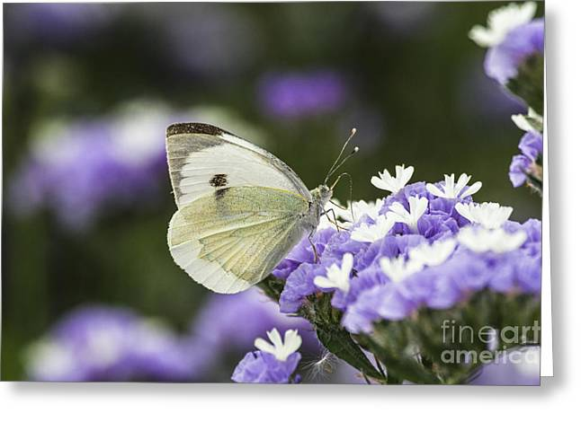 Large White Flower Close Up Greeting Cards - Large White Pieris brassicae  Greeting Card by Eyal Bartov