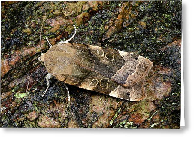 Large Yellow Underwing Moth Greeting Card by Nigel Downer