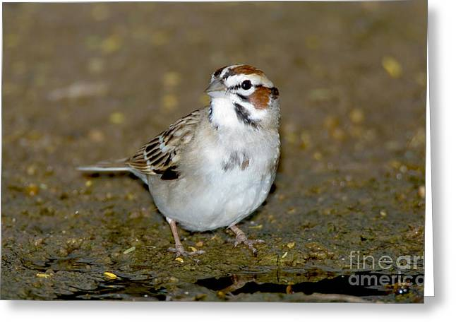 Sparrow Greeting Cards - Lark Sparrow Greeting Card by Anthony Mercieca