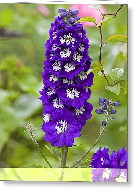 Larkspur Greeting Cards - Larkspur (Delphinum sp.) Greeting Card by Science Photo Library