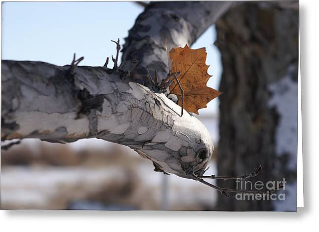 Autumn Photographs Pyrography Greeting Cards - Last Leaf Greeting Card by Markus  Jolley