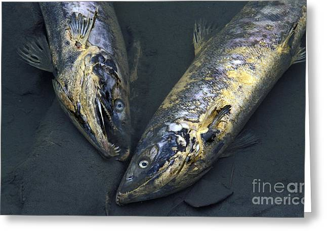 Chem Greeting Cards - Late Run Salmon Greeting Card by Ron Sanford