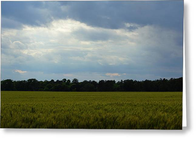 Harvest Time Greeting Cards - Late Spring Wheat Greeting Card by Kim Pate
