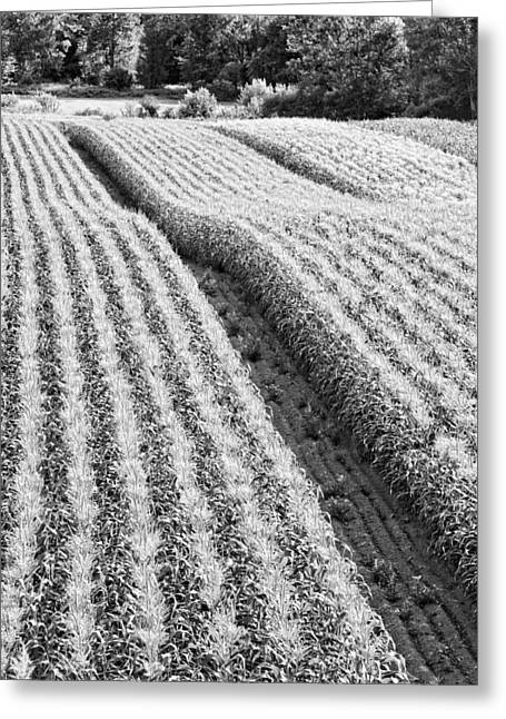 Dirt Digital Art Greeting Cards - Late Summer Corn Field In Maine Photo Greeting Card by Keith Webber Jr