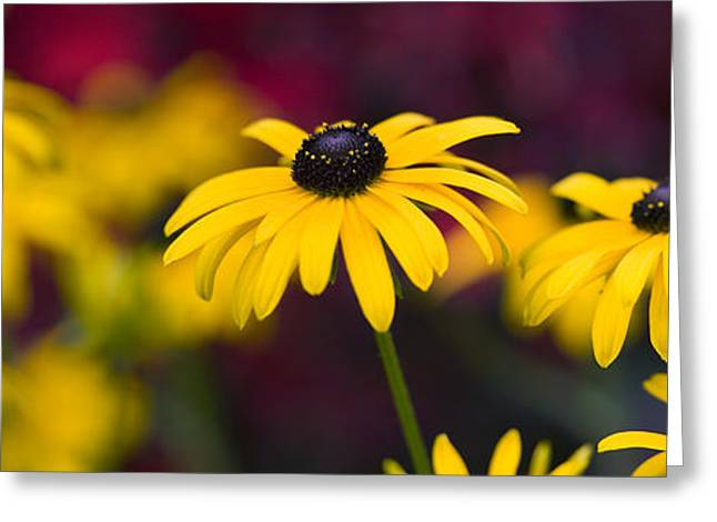 Blooms Greeting Cards - Late Summer Rudbeckia  Greeting Card by Tim Gainey