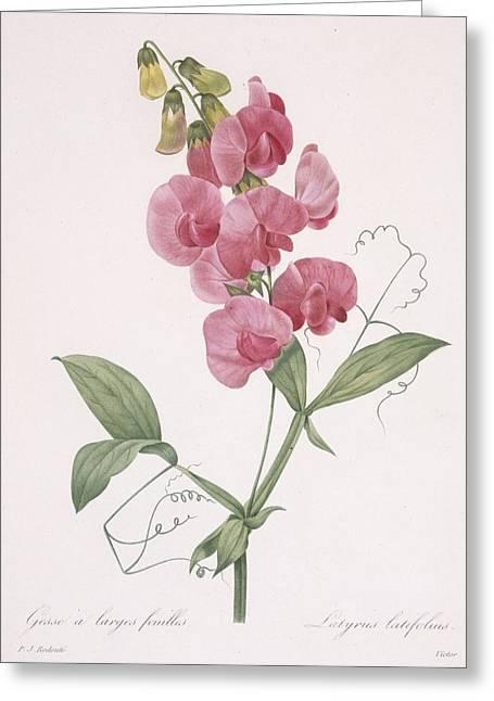 Lathyrus Latifolius Everlasting Pea Greeting Card by Pierre Joseph Redoute