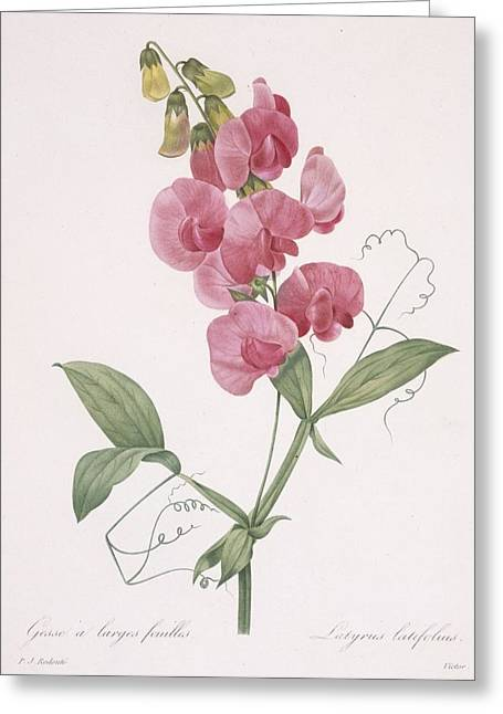 Calligraphy Drawings Greeting Cards - Lathyrus Latifolius Everlasting Pea Greeting Card by Pierre Joseph Redoute