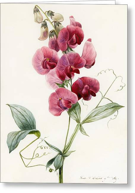 Signature Greeting Cards - Lathyrus latifolius Everlasting Pea Greeting Card by Louise D Orleans