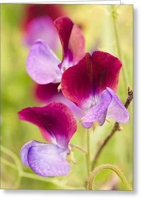 Pink Sweet Peas Greeting Cards - Lathyrus odoratus Matucana Greeting Card by Science Photo Library