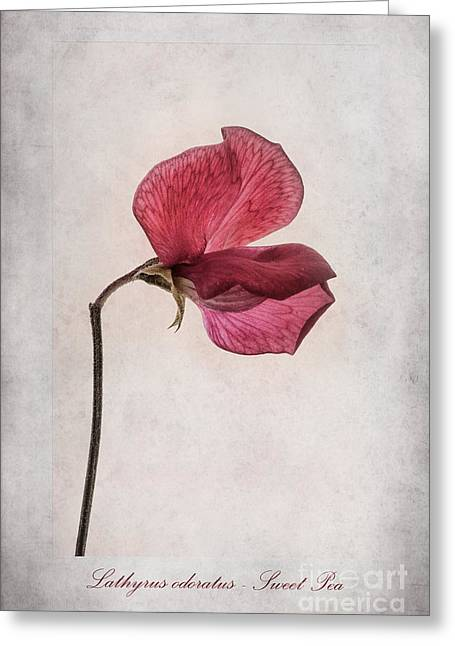 Descriptive Greeting Cards - Lathyrus odoratus - Sweet Pea Greeting Card by John Edwards