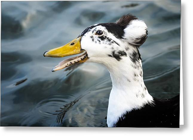 Humorous Greeting Cards Greeting Cards - Laughing  Duck Greeting Card by Caitlyn  Grasso