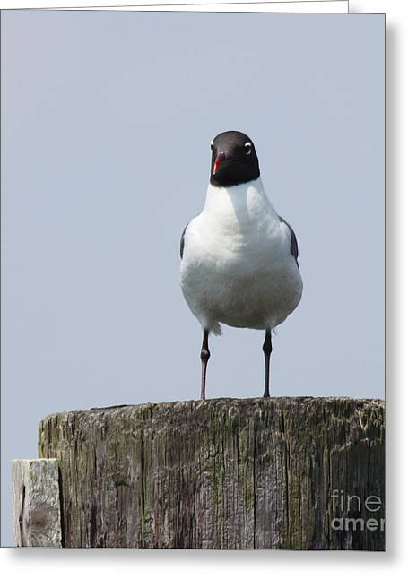 Slip Ins Greeting Cards - Laughing Gull at Captree Boat Basin Greeting Card by John Telfer