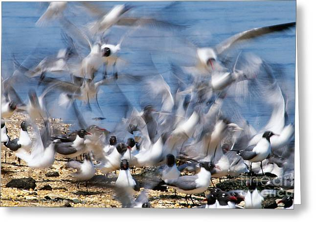 Flying Seagull Greeting Cards - Laughing Gulls Greeting Card by Art Wolfe