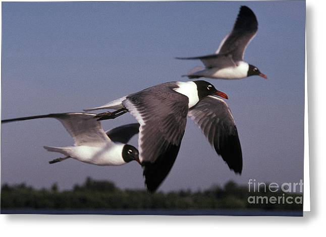 Flying Seagull Greeting Cards - Laughing Gulls In Flight Greeting Card by Ron Sanford