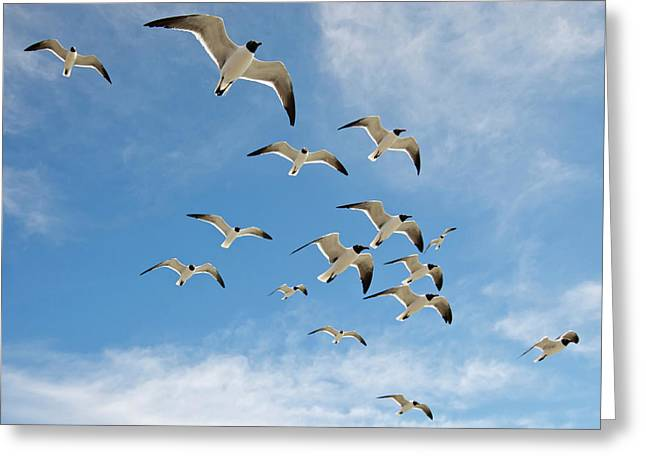 Laughing Gulls (larus Atricilla Greeting Card by Larry Ditto