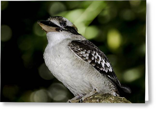 Close Up Greeting Cards - Laughing Kookaburra Greeting Card by Mr Bennett Kent