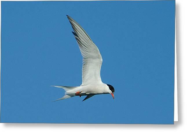 Tern Greeting Cards - Laughing Tern Greeting Card by Steve Myrick