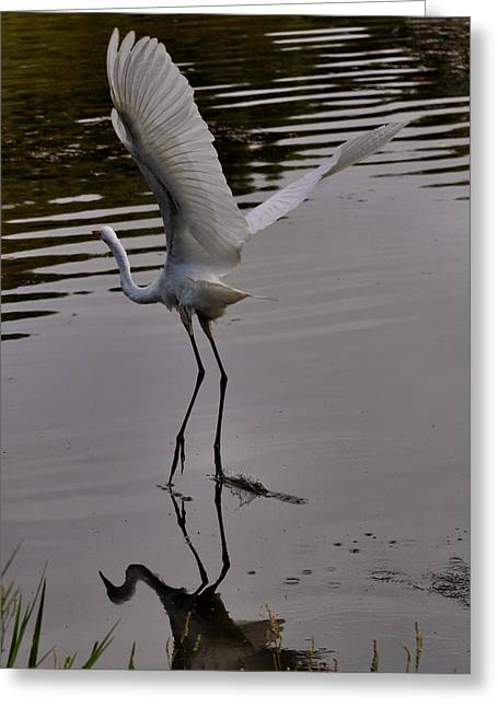 Egret Greeting Cards - Launching Egret - c3514c Greeting Card by Paul Lyndon Phillips