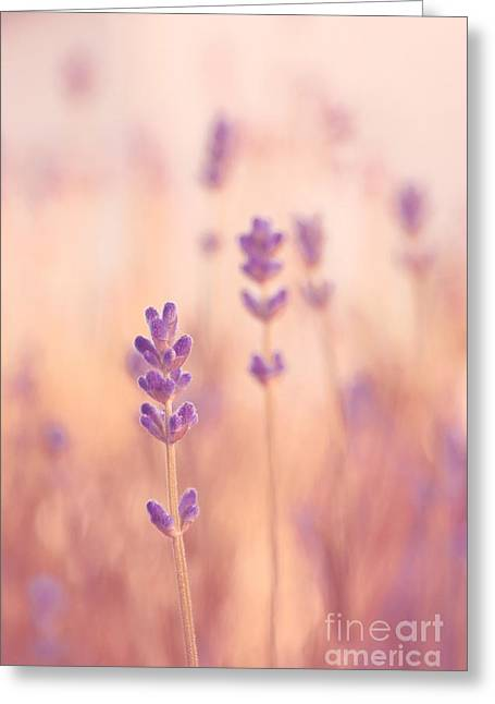Pastel Pink Greeting Cards - Lavandines 02 - s09a Greeting Card by Variance Collections