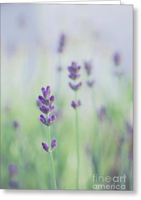 Soft Purple Greeting Cards - Lavandines - 117 Greeting Card by Variance Collections