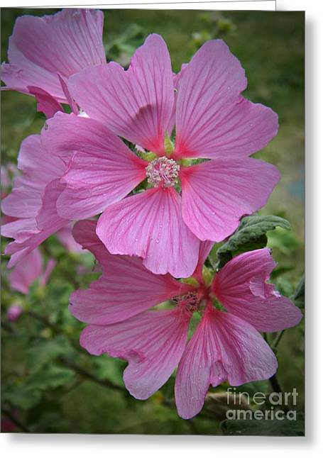 Neurotic Images Photography Greeting Cards - Lavatera Splendor  Greeting Card by Chalet Roome-Rigdon