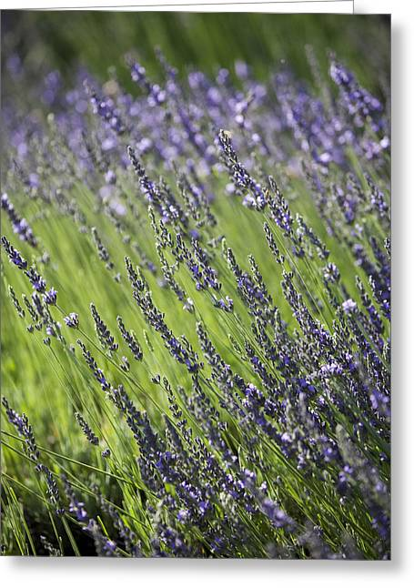 Lily Greeting Cards - Lavendar Greeting Card by Lily