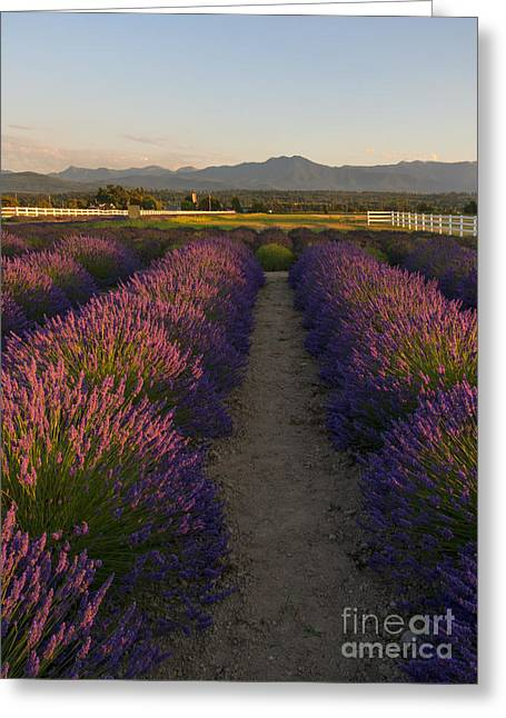 Olympic Mountains Greeting Cards - Lavendar Path Greeting Card by Mike Dawson