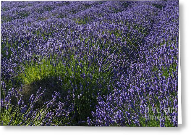 Lavendar Greeting Cards - Lavendar Rows Greeting Card by Mike Dawson