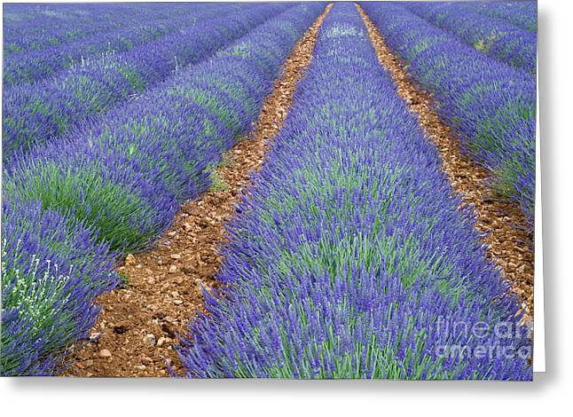 Lavendel 2 Greeting Card by Arterra Picture Library