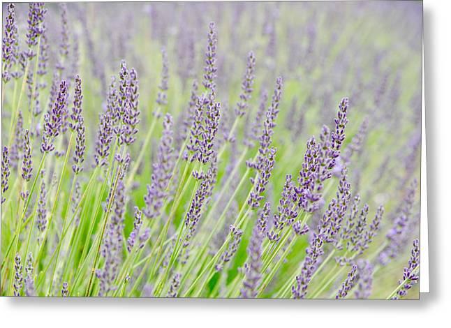 Lavender Greeting Cards - Lavender 1 Greeting Card by Rob Huntley