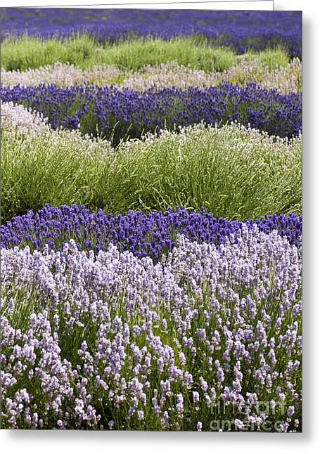 Lavender Bands Greeting Card by Anne Gilbert