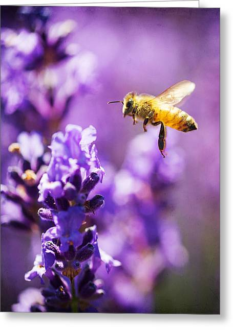 Bee In Flight Greeting Cards - Lavender Bee Flying Greeting Card by Vicki Jauron