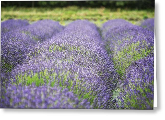 North Fork Greeting Cards - Lavender Blooms Greeting Card by Vicki Jauron