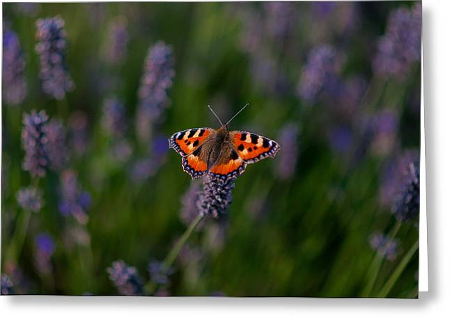 Hitchin Greeting Cards - Lavender Butterfly  Greeting Card by Gavin  Grant