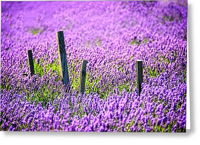 North Fork Greeting Cards - Lavender by the Fenceline Greeting Card by Vicki Jauron