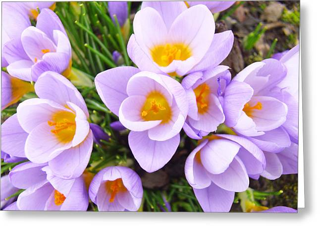 Popular Flower Art Greeting Cards - Lavender Crocus Floral Art Photography Greeting Card by Baslee Troutman