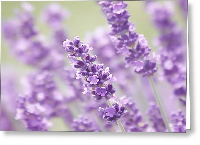 Kim Hojnacki Greeting Cards - Lavender Dreams Greeting Card by Kim Hojnacki