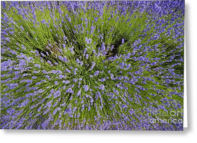 Lavandula Greeting Cards - Lavender Explosion Greeting Card by Tim Gainey