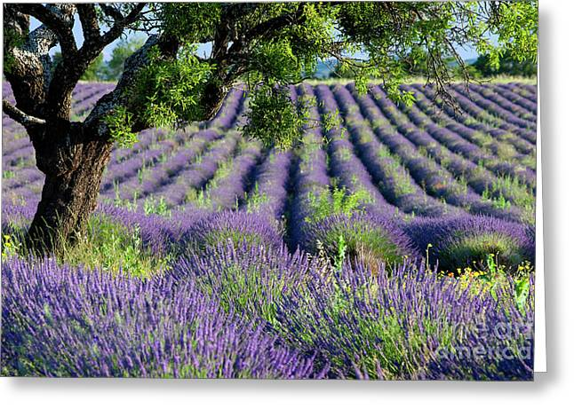 Lavender Field Greeting Card by Brian Jannsen