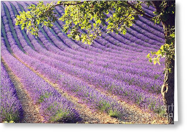 Azur Greeting Cards - Lavender field in France Greeting Card by Matteo Colombo