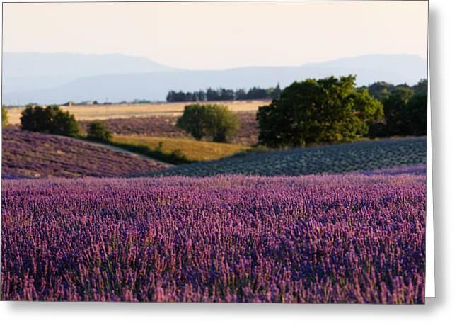 Alex Sukonkin Greeting Cards - Lavender field in Provence Greeting Card by Alex Sukonkin