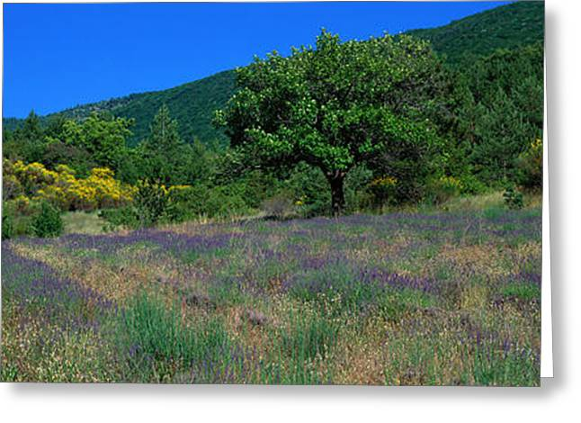 Purple Flower Flower Image Greeting Cards - Lavender Field La Drome Provence France Greeting Card by Panoramic Images