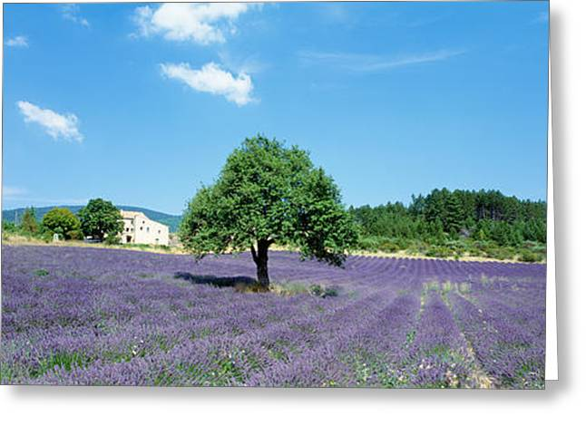 Purple Flower Flower Image Greeting Cards - Lavender Field Provence France Greeting Card by Panoramic Images